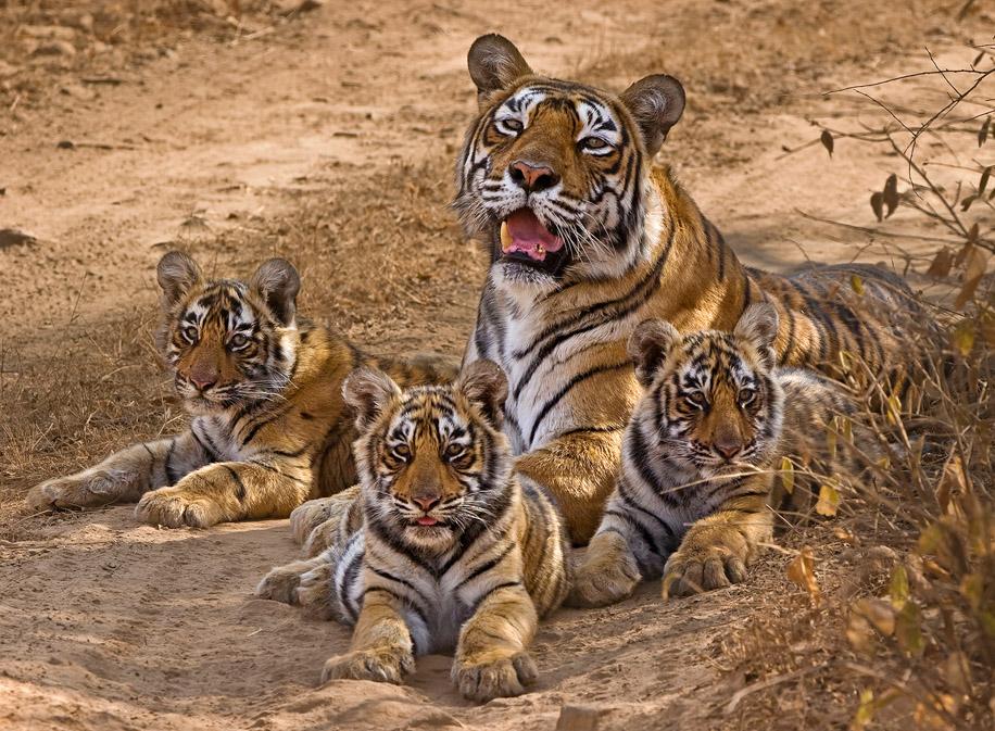 https://www.wildworldindia.com/wp-content/uploads/2019/10/BigCats-9.jpg