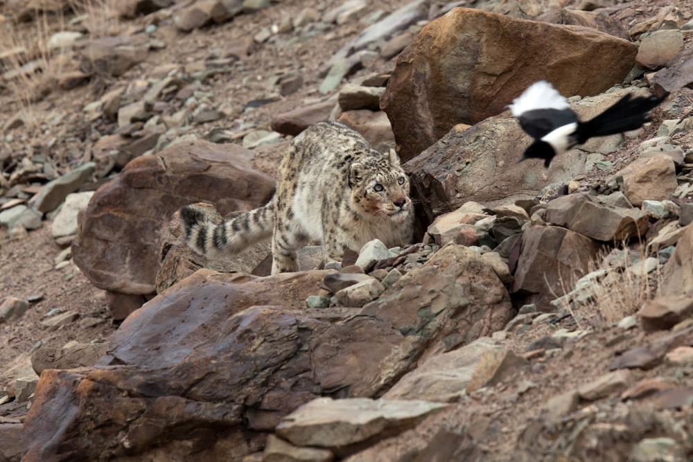 https://www.wildworldindia.com/wp-content/uploads/2019/10/Snowleopard049.jpg