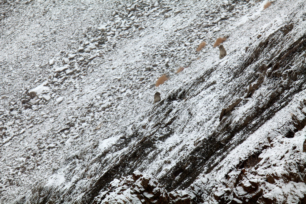 https://www.wildworldindia.com/wp-content/uploads/2019/10/Snowleopard086.jpg