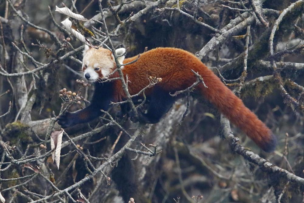https://wildworldindia.com/wp-content/uploads/2020/01/60A1710NN-Red-Panda-Ailurus-fulgens.jpg