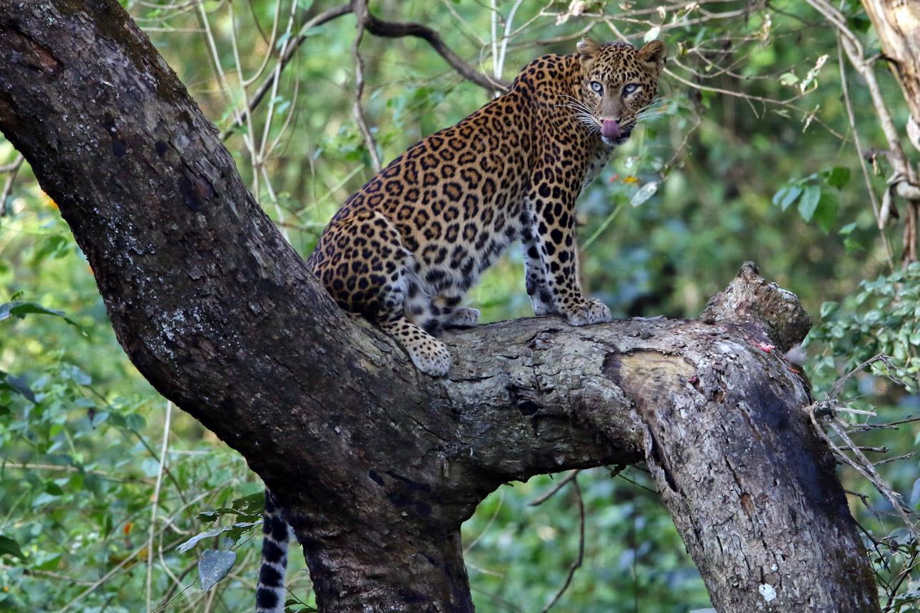 https://wildworldindia.com/wp-content/uploads/2020/01/60A4172NN-Leopard-Panthera-pardus.jpg