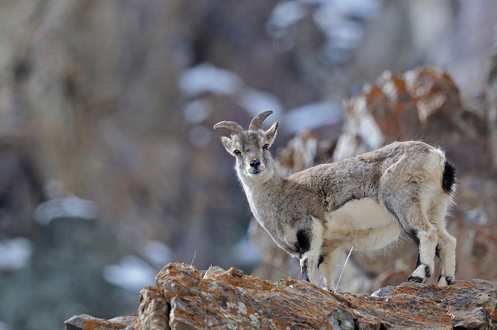https://www.wildworldindia.com/wp-content/uploads/2020/01/Bharal_Blue-Sheep_Ladakh_Wild-World-India_Snow-Leopard-Expedition.jpg