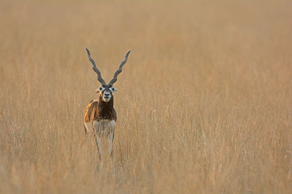 https://www.wildworldindia.com/wp-content/uploads/2020/01/Black-Buck-Gujarat_Wild-World-India_wildlife-photography-India_Photo-Tours-India.jpg
