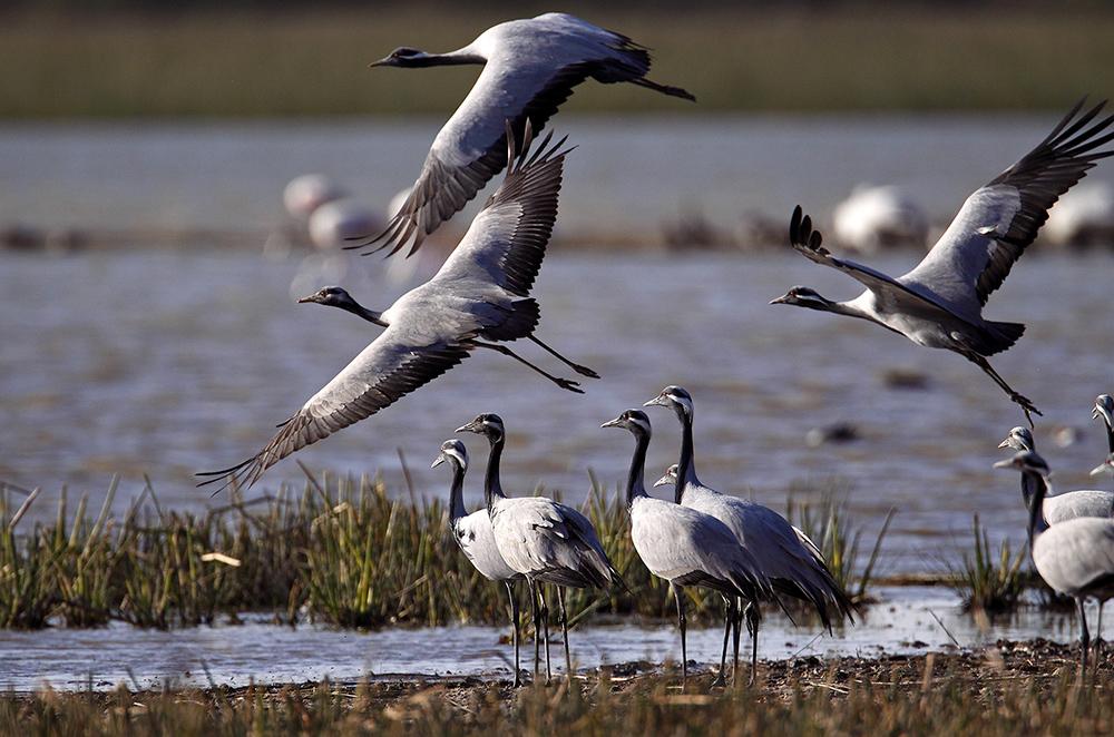 https://wildworldindia.com/wp-content/uploads/2020/01/Demoiselle-Cranes-India_Gujarat-Birding_Bird-photography-India_Wild-World-India_Photo-Tours-India.jpg