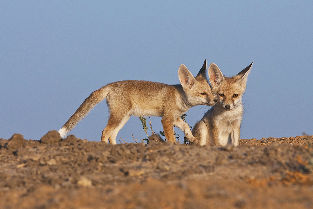 https://www.wildworldindia.com/wp-content/uploads/2020/01/Desert-Fox_Wild-World-India_Wildlife-Photography-Tours-Gujarat.jpg