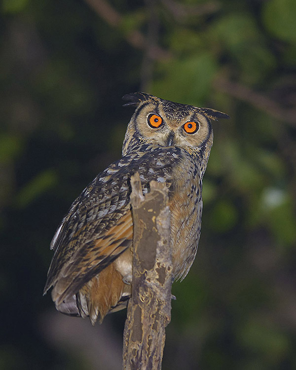 https://wildworldindia.com/wp-content/uploads/2020/01/Indian-eagle-Owl_Gujarat-Birding-Tours_Wild-World-India.jpg