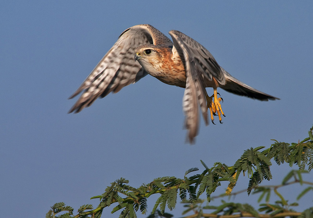 https://www.wildworldindia.com/wp-content/uploads/2020/01/Kestrel_Wild-World-India_Bird-photography-India_Gujarat-Birding-Tours.jpg