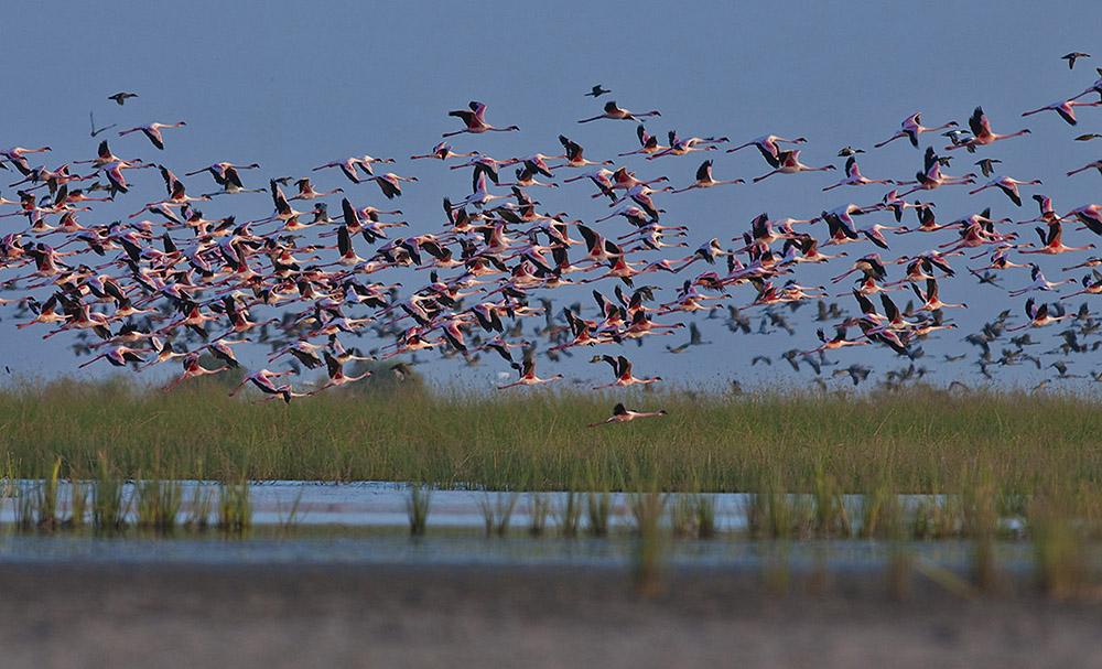 https://wildworldindia.com/wp-content/uploads/2020/01/Lesser-Flamingos_Little-Rann-of-Kutch_Wild-World-India_Bird-photography-India.jpg