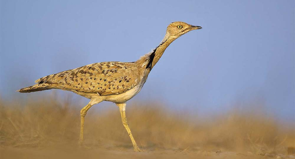 https://www.wildworldindia.com/wp-content/uploads/2020/01/McQueens-Bustard_Little-Rann-of-Kutch_Birding-India_Birding-Gujarat_Wild-World-India.jpg