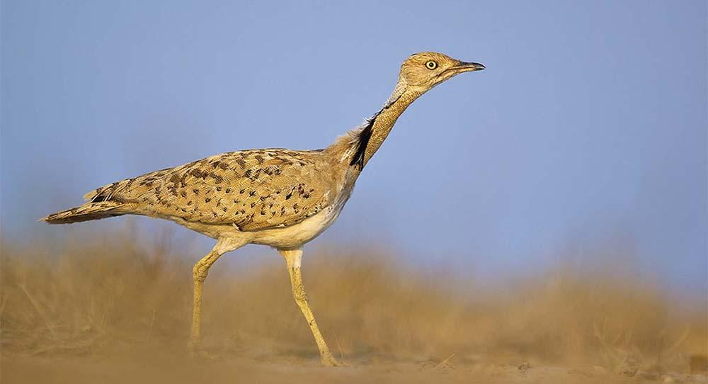 https://wildworldindia.com/wp-content/uploads/2020/01/McQueens-Bustard_Little-Rann-of-Kutch_Birding-India_Birding-Gujarat_Wild-World-India.jpg
