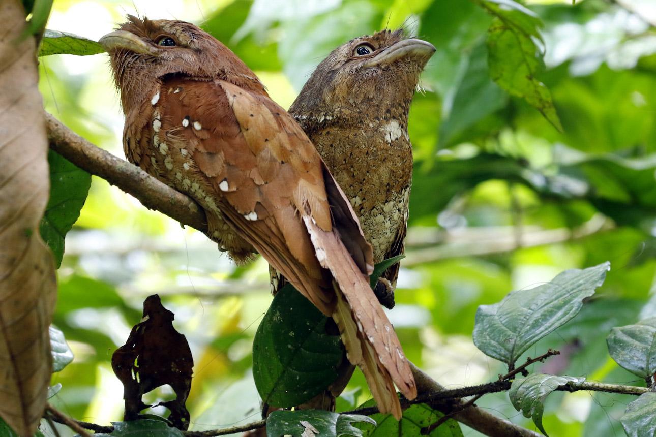 https://www.wildworldindia.com/wp-content/uploads/2020/01/N4A1844NN-Sri-Lanka-Frogmouth-Batrachostomus-moniliger.jpg