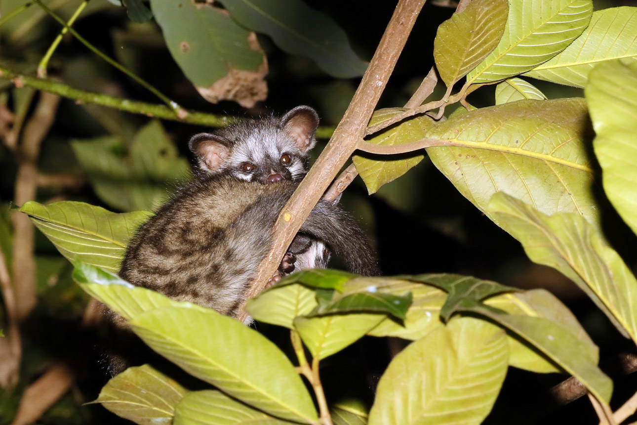 https://wildworldindia.com/wp-content/uploads/2020/01/N4A1883NN-Common-Paln-Civet-Paradoxurus-hemaphroditus.jpg