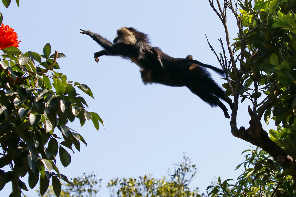 https://wildworldindia.com/wp-content/uploads/2020/01/N4A2382NN-Lion-tailes-Macaque-Macaca-silenus.jpg