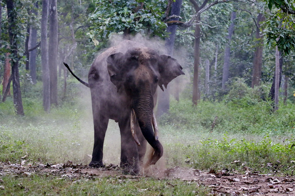 https://www.wildworldindia.com/wp-content/uploads/2020/01/N4A4261NN-Asian-Elephant-Elephas-maximus.jpg