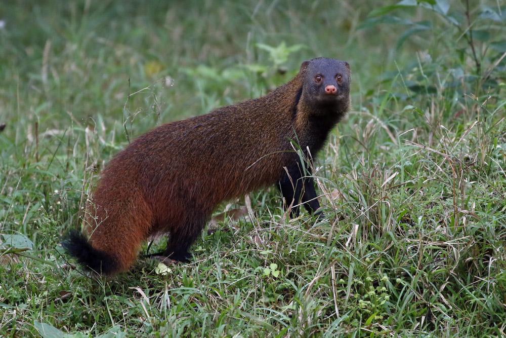 https://wildworldindia.com/wp-content/uploads/2020/01/N4A4454NN-Brown-Mongoose-Herpestes-fuscus.jpg