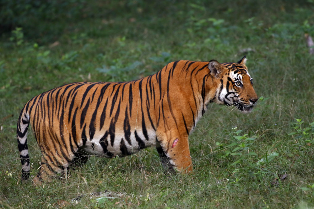 https://wildworldindia.com/wp-content/uploads/2020/01/N4A4856NN-Tiger-Panthera-tigris.jpg