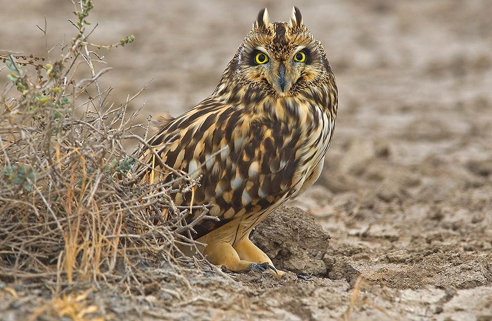 https://wildworldindia.com/wp-content/uploads/2020/01/Short-eared-Owl_Gujarat-Birding_Western-India-Bird-tour.jpg