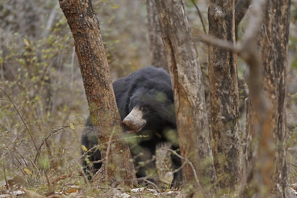 https://wildworldindia.com/wp-content/uploads/2020/01/Sloth-Bear_Ranthambhore_Wild-World-India_Wildlife-Tours-India.jpg