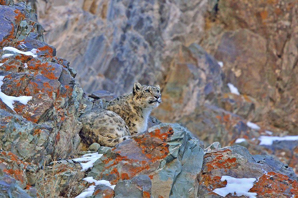 https://wildworldindia.com/wp-content/uploads/2020/01/Snow-Leopard_wildworldindia_hemis-national-park_ladakh-e1584022829990.jpg