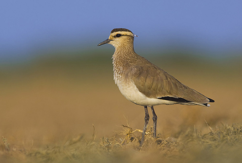 https://www.wildworldindia.com/wp-content/uploads/2020/01/SociableLapwing_Wild-World-India_Gujarat-Birds_Gujarat-Wildlife-Tours.jpg