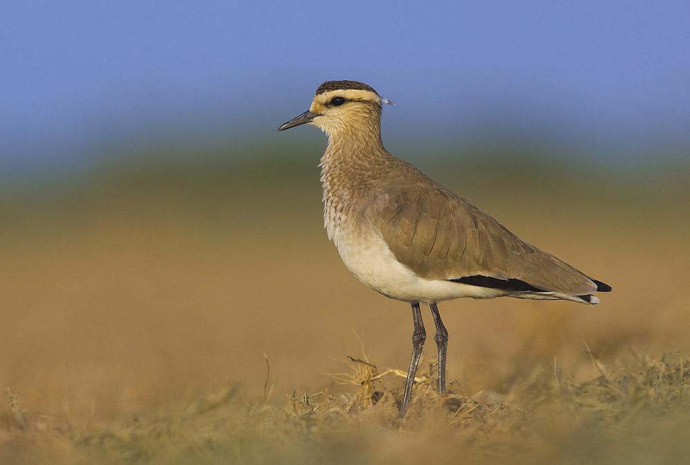 https://wildworldindia.com/wp-content/uploads/2020/01/SociableLapwing_Wild-World-India_Gujarat-Birds_Gujarat-Wildlife-Tours.jpg