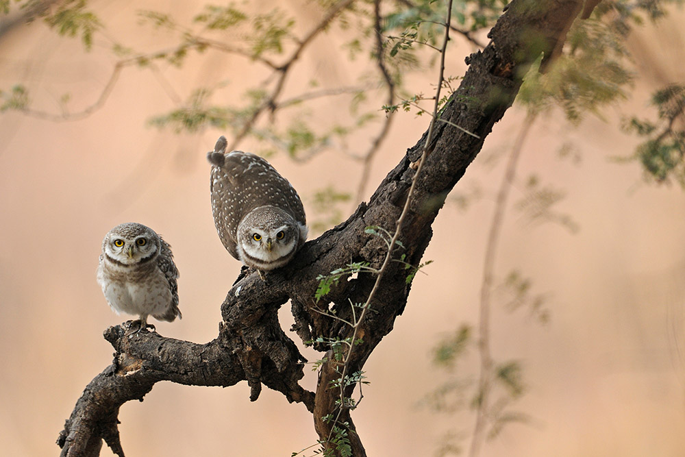 https://www.wildworldindia.com/wp-content/uploads/2020/01/Spotted-Owlet_Wild-World-India_Gujarat-Wildlife-Birding.jpg