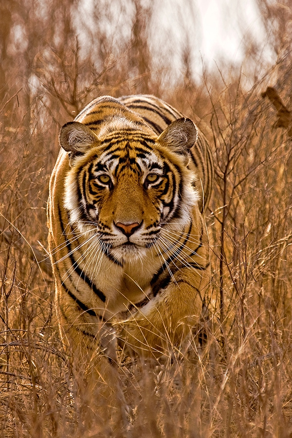 https://wildworldindia.com/wp-content/uploads/2020/01/Tiger-Photography_Tiger-stalking_Ranthambhore_Wild-World-India.jpg