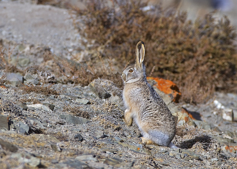 https://www.wildworldindia.com/wp-content/uploads/2020/01/Woolly-Hare_Wild-World-India_Ladakh_Snow-Leopard_Expedition.jpg