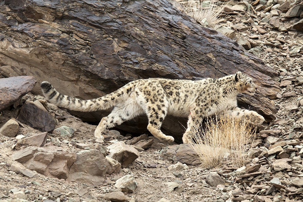 https://www.wildworldindia.com/wp-content/uploads/2020/01/snow-leopard_wildworldindia_ladakh_rumbak-valley_hemis-national-park.jpg