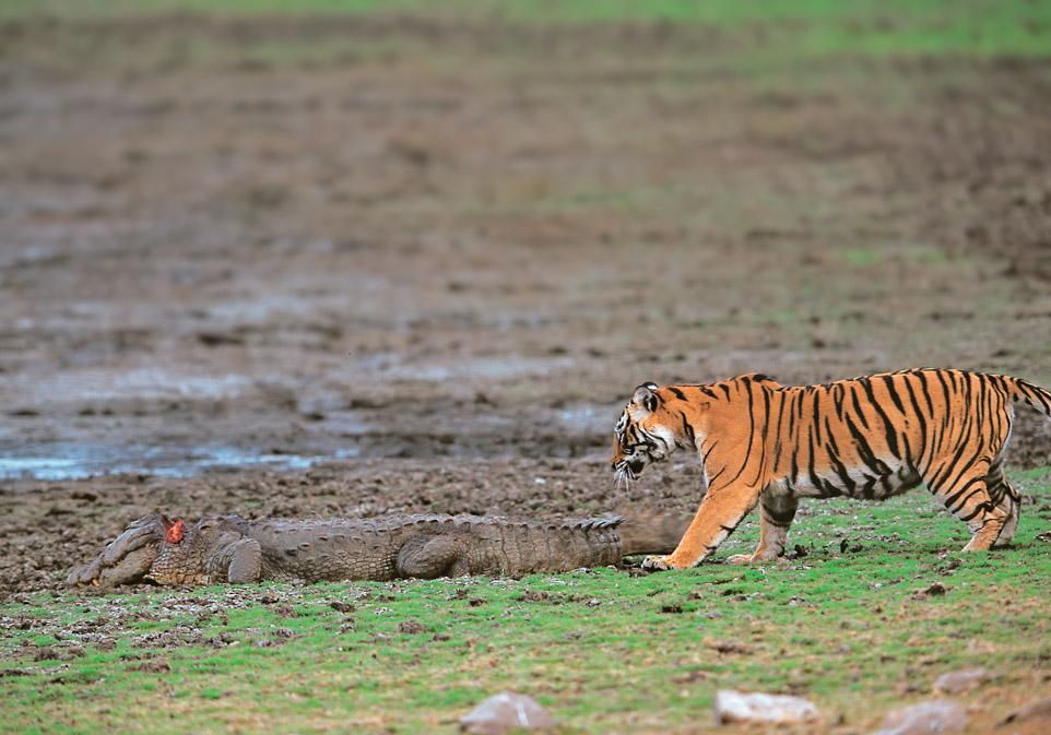 https://wildworldindia.com/wp-content/uploads/2020/01/tiger-crocodile-rbhore-Edit-1.jpg